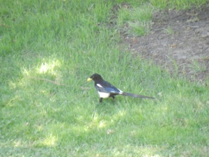 Yellow Billed Magpie