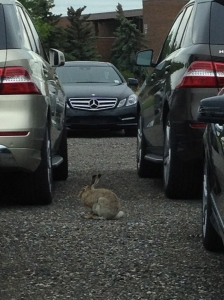 Lone Rabbit at Hyatt Mercedes Benz