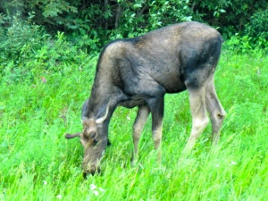 Moose grazing in the meadows